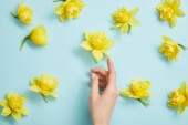 felülnézet női kéz, és a sárga nárcisz virág a kék háttér