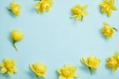 pohled shora žlutého narcisu květin na modrém podkladu s kopií prostor