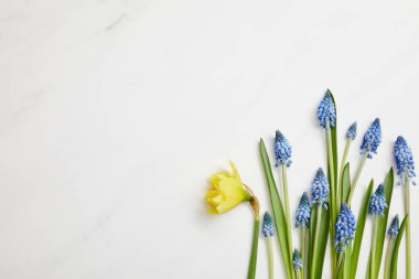 Top view of fresh yellow narcissus and blue hyacinths on white background with copy space stock vector