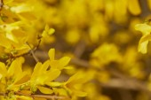 Fotografie close up of yellow blossoming flowers on tree branches