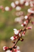 selective focus of closed flower buds on tree branch