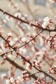 blízko stromových větví s kvetoucích bílými květy na jaře