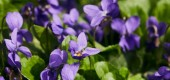 panoramic shot of blooming violets with green leaves in sunlight