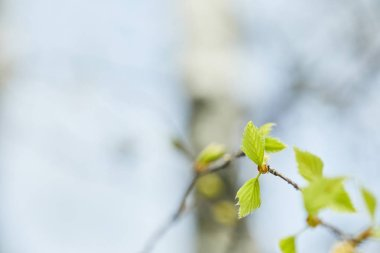 selective focus of green leaves on tree branch in spring