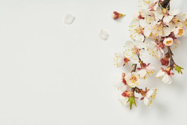 Top view of tree branch with blooming spring flowers and white petals on white background stock vector