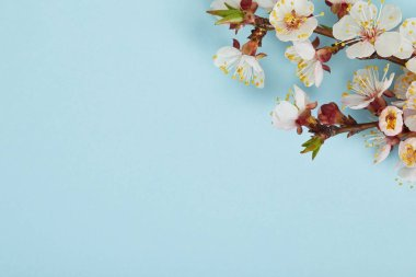 close up of tree branch with blossoming white flowers on blue background
