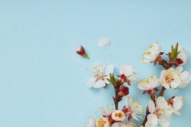 close up of tree branch with blossoming white flowers and petals on blue background