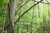 Fotografie birch trunks and branches with green forest on background