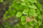 Selective focus of spring and green leaves on tree branches