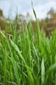 close up view of light green grass on forest background