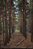 pine forest with fallen and tall trees in rows