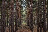 forest with tall pine textured trees in rows