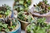 close up view of green tropical succulents with small leaves in flowerpots