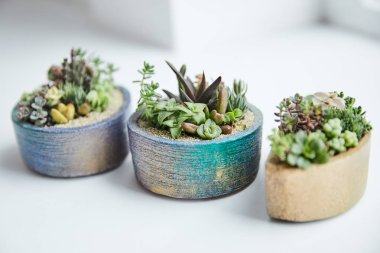 selective focus of green succulents in flowerpots on white background