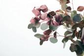 közeli zöld eukaliptusz levelek elszigetelt fehér