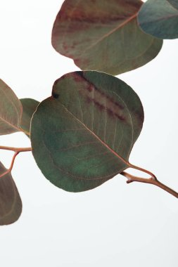 close up of eucalyptus branch with green leaves isolated on white