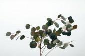 blízký zelený eukalyptus závod izolovaný na bílém