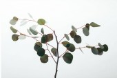 Photo green eucalyptus branches with leaves isolated on white