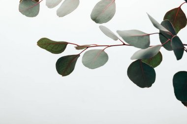 close up of green eucalyptus leaves isolated on white