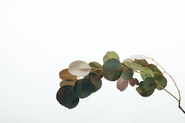 closeup of green eucalyptus plant isolated on white