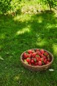 Fotografie čerstvé jahody z proutěného talíře na zelené trávě v zahradě