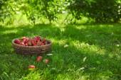 sweet red strawberries in wicker basket in green garden