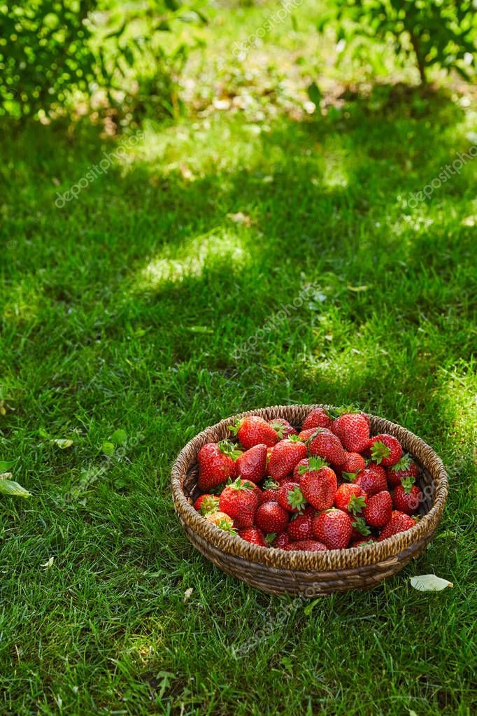 fresh strawberries in wicker bowl on green grass in garden