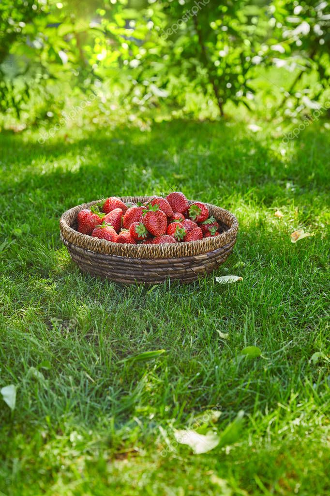 organic strawberries in wicker bowl on green grass in garden