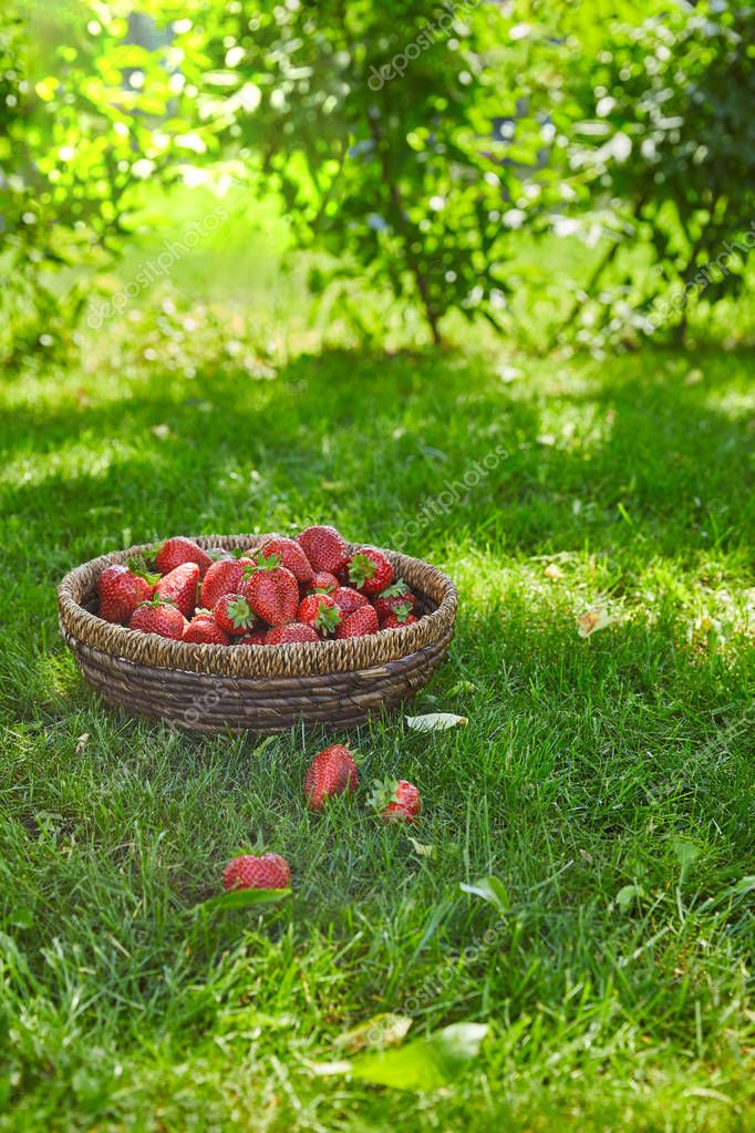 red fresh strawberries in wicker basket on green grass in garden