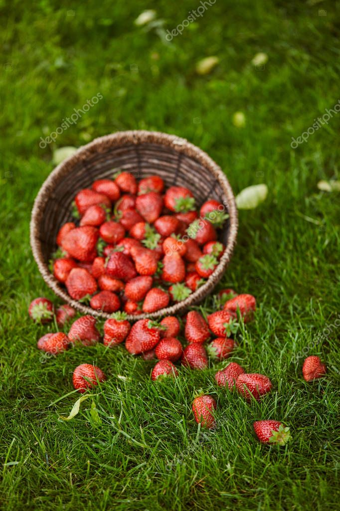 delicious red strawberries in wicker basket on green grass