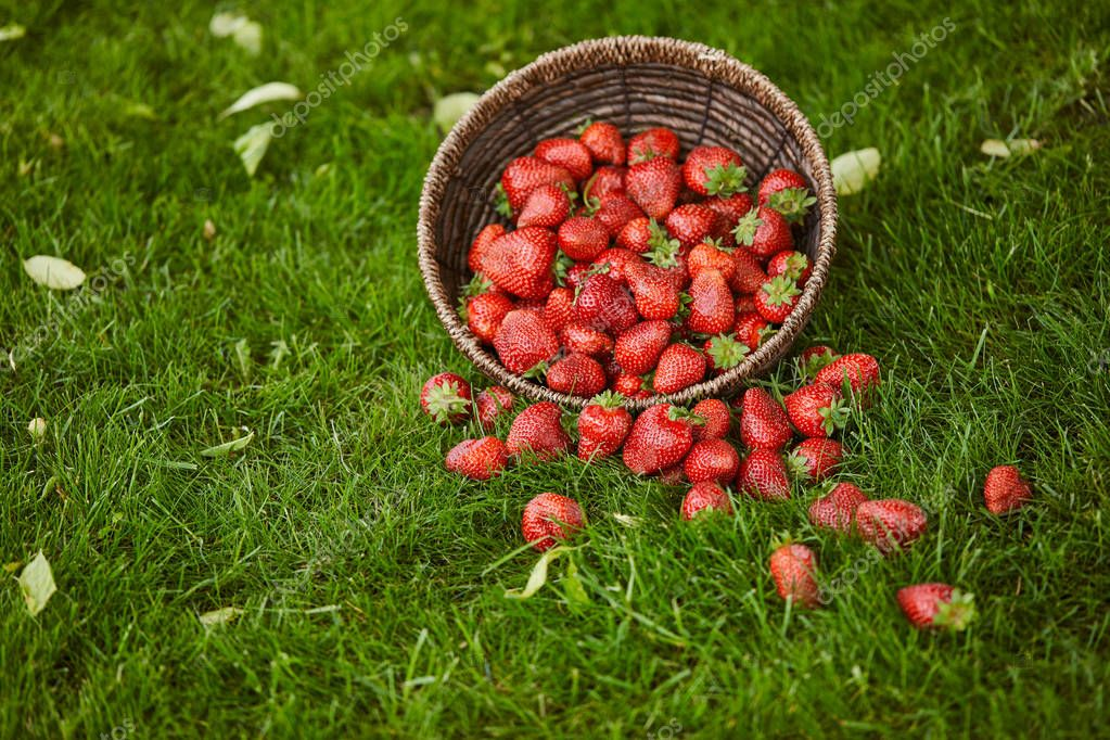 delicious sweet strawberries in wicker basket on green grass