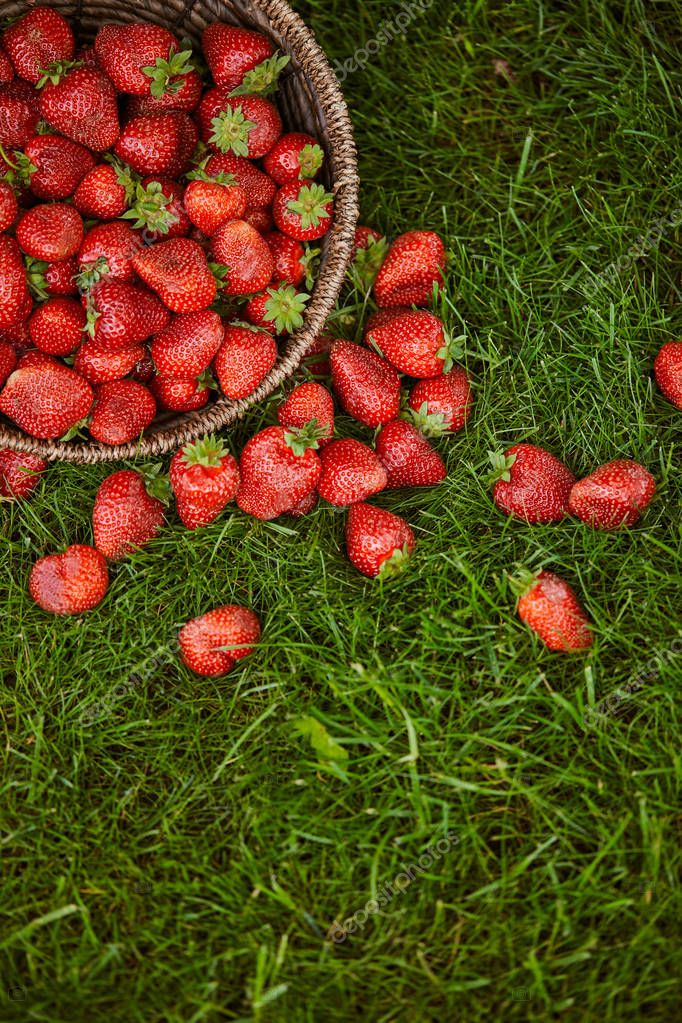 top view of sweet red strawberries in wicker basket on green grass