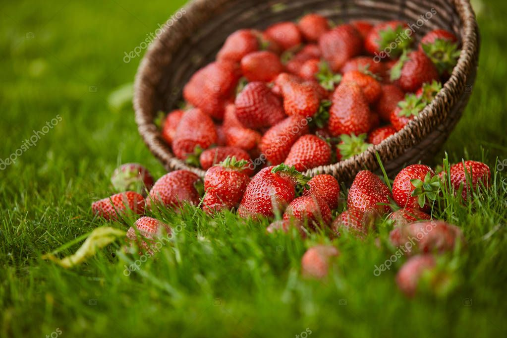 selective focus of sweet fresh strawberries in wicker basket on green grass