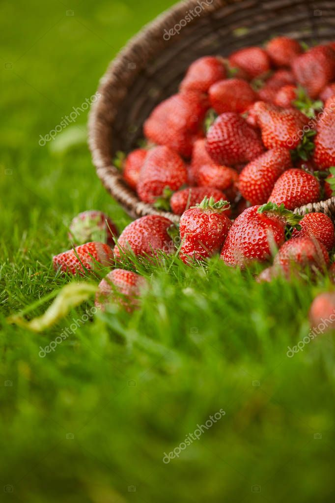 selective focus of sweet red strawberries in wicker basket on green grass