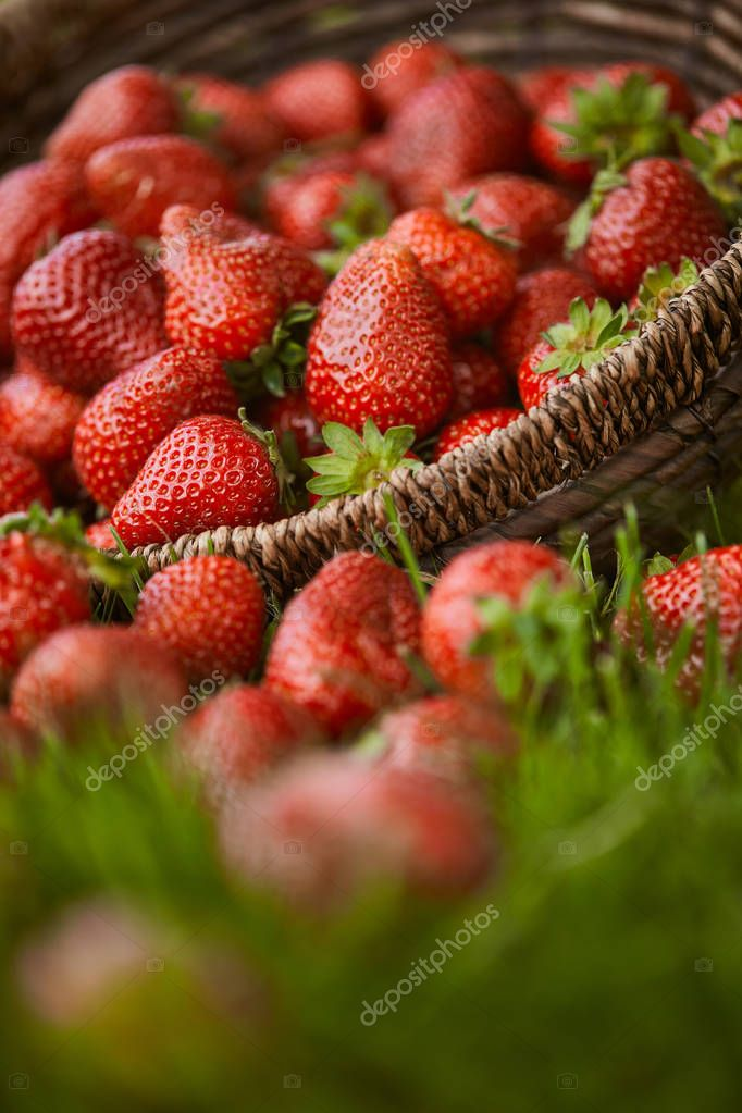 selective focus of red strawberries in wicker basket on green grass