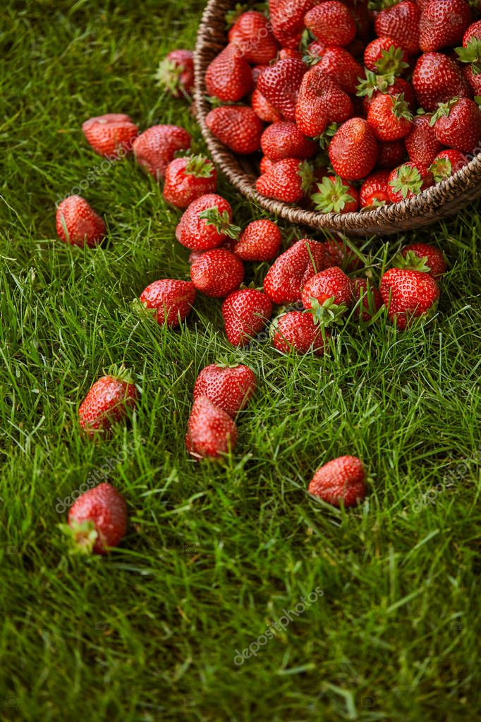 sweet red strawberries in wicker basket on green grass