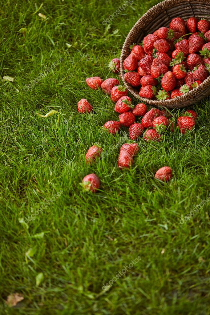 fresh red strawberries in wicker basket on green grass