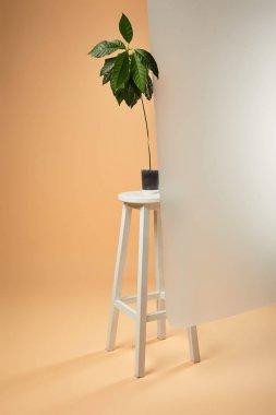Avocado tree in flowerpot on white bar stool behind matt glass on beige stock vector