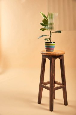 Plant with light green leaves in colorful flowerpot on wooden bar stool on beige background behind reed glass stock vector