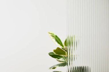 Plant with light green leaves on white background behind reed glass stock vector