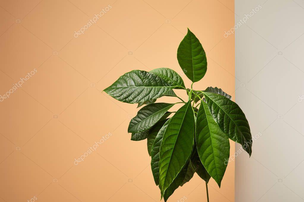 avocado tree leaves behind matt glass isolated on beige