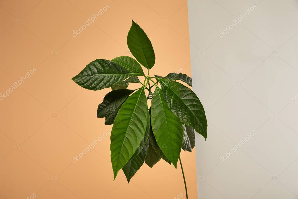 green leaves of avocado tree behind glass on beige