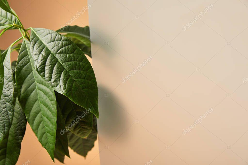 leaves of avocado tree near matt glass on beige