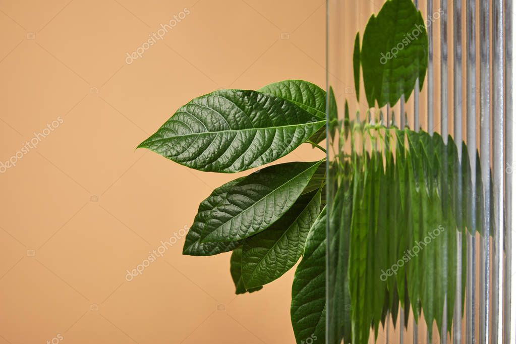 avocado tree leaves behind reed glass isolated on beige