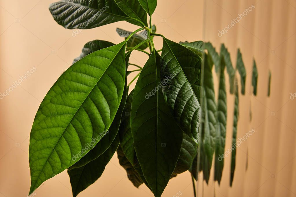 close up view of green leaves of avocado tree behind reed glass isolated on beige