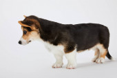 side view of cute welsh corgi puppy on white background