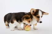 cute welsh corgi puppies with tasty apple on white background