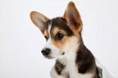 Fotografie hezké velšské korgi štěně, které se dívá izolovaně na bílém