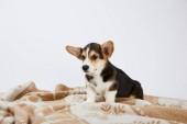 hezké velšské hovínek štěně na přikrývce izolované na bílém