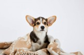 Fotografie cute welsh corgi puppy in blanket isolated on white